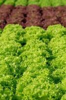 Feuilles de laitue iceberg frillice frais salades ferme hydroponique végétale photo