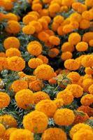 belles fleurs jaunes et oranges photo
