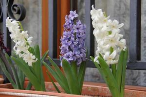 Jacinthe colorée en pot sur la fenêtre photo
