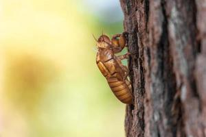 la mue des insectes cigales mue sur un pin au parc national de thung salaeng luang. province de phetchabun et de phitsanulok. nord de la Thaïlande. macro et vue de côté en gros plan photo
