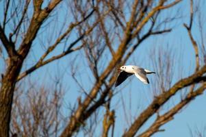 oiseau mouette en vol au dessus de la rivière photo