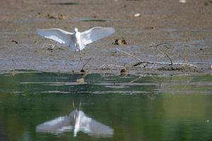 oiseau aigrette blanche sur le lac photo