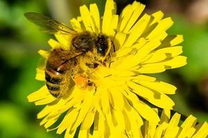 abeille au travail photo