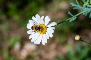 abeille sur marguerite photo