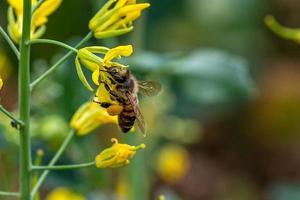 abeille sur fleur de légume photo