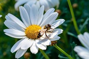 abeille sur le photo