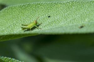 grillon vert sur feuilles de sauge photo