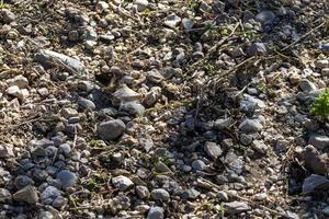 Hipparchia semele papillon reposant sur le sol photo