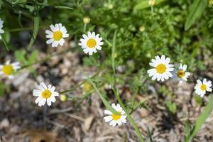 fleurs de marguerite pour l'utilisation de camomille photo