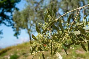 l'olivier et les pousses photo