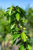 la cerise aux fruits photo