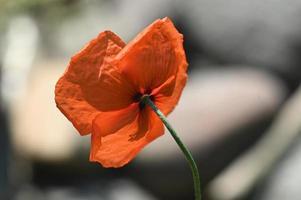 fleur de pavot ensoleillée photo