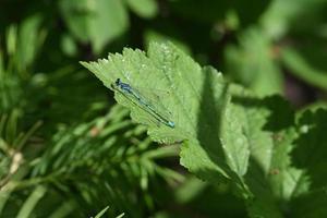 libellule bleue sur une feuille verte photo