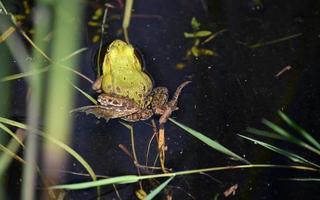 grosse grenouille verte photo