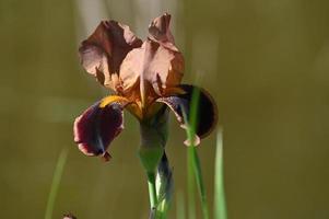un iris brun photo