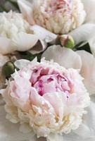 fleurs de pivoine comme fond naturel photo