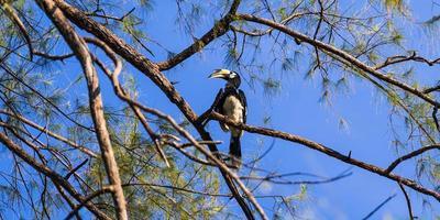 calao sur l'arbre photo