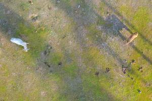 vue aérienne de dessus des vaches sur le pré vert photo