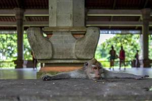 singe dans la forêt des singes d'ubud photo