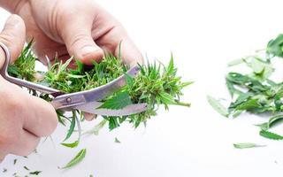 couper les bourgeons de cannabis vert avec des ciseaux sur fond blanc photo
