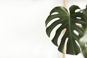 feuilles vert foncé de monstera ou de philodendron à feuilles fendues, monstera deliciosa, la plante tropicale à feuillage poussant à l'état sauvage isolée sur fond blanc. mise au point sélective photo