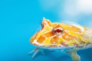 Grenouille cornue argentine gros plan avec arrière-plan flou photo