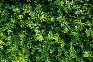 fond de mur de feuilles vertes, fond de nature de mur de feuilles photo