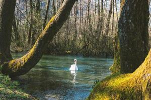 cygne blanc nageant sur le lac au parc photo