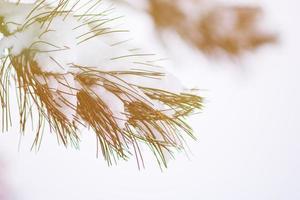 brunch d'aiguilles de pin recouvert de neige photo