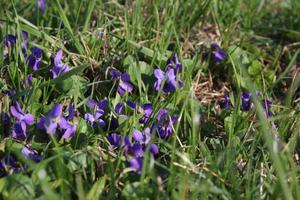 petites fleurs violettes dans l'herbe verte photo
