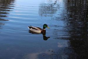 un oiseau drake flotte sur le lac photo
