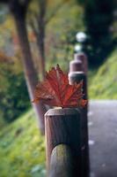 feuille d'arbre sec rouge en automne photo