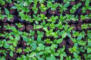 semis de plants de café dans une pépinière photo