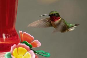 Colibri à gorge rubis mâle s'approche de la mangeoire photo