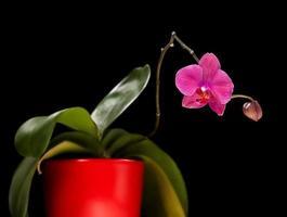 orchidée rose isolé sur fond noir photo