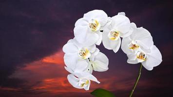 Phalaenopsis blanc sur fond de ciel sombre photo