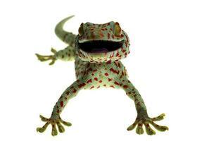 gecko tokay sur fond blanc photo
