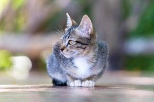 jeune chat gris de la rue photo