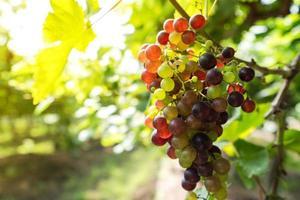 Vignoble avec raisins blancs en campagne, grappes de raisin ensoleillées accrochées à la vigne photo