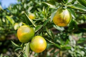 jardin de plantation d'oranges, orange mûre accrochée à un arbre photo
