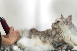 toilettage de chats, toiletteur coupant les poils de chat dans le salon de beauté pour chiens et chats photo