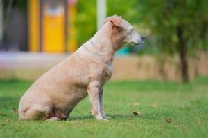 petit chien assis dans la pelouse photo