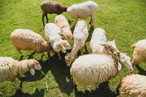 mouton sur l'herbe verte photo