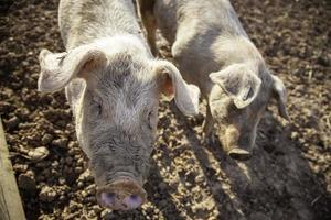 cochons à la ferme photo