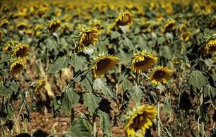 champ de tournesols dans la nature photo