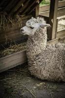 lama dans une ferme photo