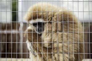 singe triste en cage photo