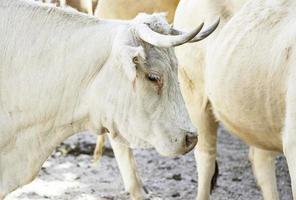 vaches dans une basse-cour photo