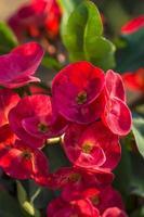fleur de cactus rouge photo