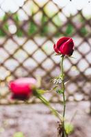 décoration de la parcelle avec des fleurs et des plantes - un rosier sur fond de mur de briques d'un manoir de campagne - un jardin à l'anglaise photo